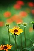 Rudbeckia (Black-Eyed Susans) Growing in a Garden