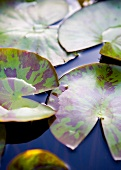 Water lily leaves on surface of water