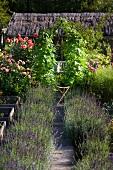 Lavendelbüsche am Gartenweg und Blick auf teilweise sichtbarem Haus