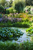 Water lily leaves in pond in flowering garden