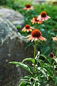 Orange Coneflowers in a Garden
