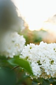 White Hydrangea Growing in the Garden