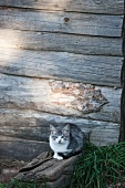 Cat in front of weathered wooden wall