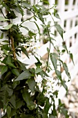 Jasmine on white garden fence