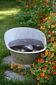 Zinc tub of water next to flowering nasturtiums in garden