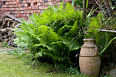Fern and terracotta amphora in wild garden