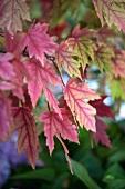 Rote Ahornblätter am Baum