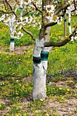 Glue bands around fruit trees to deter pests