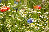 A field of camomile, cornflowers and poppies