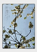 Flowering cherry branches (abstract)
