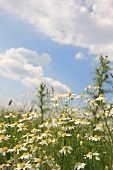 Flowering camomile in a field
