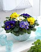 Primulas of various colours in plant pot