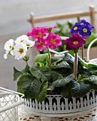 Primulas of various colours