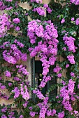 Climbing plant with purple flowers on Mediterranean house