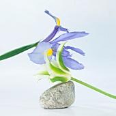 Flower arrangement with iris and tulip
