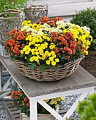 A variety of chrysanthemums in basket on garden table