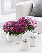 A variety of chrysanthemums on coffee table
