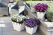 A variety of asters ('Aspatio', Novi belgii') planted in baskets