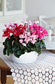 Cyclamen miniwella 'Twinkle mix' as table centrepiece