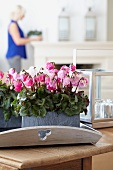 Cyclamen 'Bellissima mix' as table centrepiece