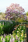 Flowering magnolia, lupins and tulips in garden