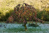 Apple tree in wintery garden with hoar frost on grass