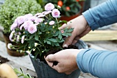 Woman repotting chrysanthemums
