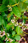 Unripe blueberries growing on bush