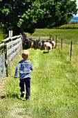 Little boy driving sheep to pasture