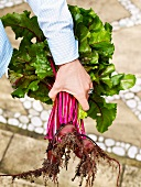A hand holding freshly harvested beetroot