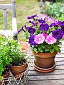 Petunias and herbs in terracotta pots on a patio table