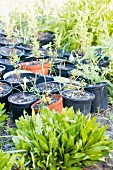 Collection of black and red plastic pots with young plants in the corner of the garden which is growing wild