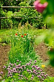Chives in vegetable patch bordered by rose bushes