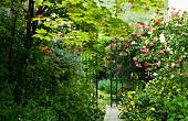 Flowering rose bush next to metal gate in wild garden
