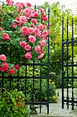 Pink shrub rose in front of metal garden fence with open gate