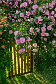 Pink shrub rose growing against fence with small garden gate