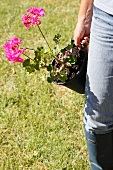 Woman carrying potted pelargonium in garden