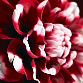 A red dahlia with white-tipped petals