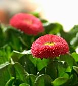 Red bellis (close-up)