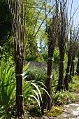 Bundles of willow twigs in Mediterranean garden