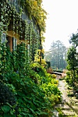 Climbing plants on facade of country house and plants lining garden path in morning ambiance