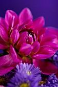 Magenta dahlia and violet erigeron