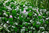 Water hyacinths with purple flowers
