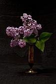 Flowering lilac in brass vase against black background