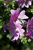 Lilac hibiscus flowers