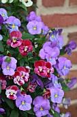 Violas flowering in various colours