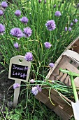 Bed of chives with a sign and a wicker basket