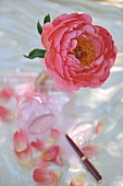 Pink rose in vase and scattered petals on table
