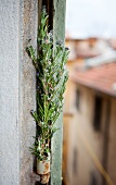 Rosemary in Bloom in Hanging Garden