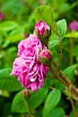 Pinkfarbene Rose (Sorte: Old Pink Moss) blüht im Garten